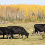 It would seem that herd immunity is not an imminent possibility for the Canadian population with regard to COVID-19, but I thought it would be interesting to explore this concept to see whether it applies to our cattle herds.