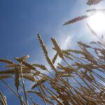 Dry weather no reason for farmers to stop worrying about mycotoxins