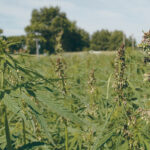 International hemp organizations want crop deregulated