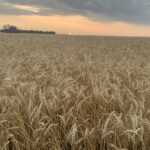 Many crops may have dodged frost