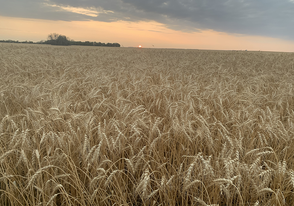 Crops extension specialist Shannon Friesen said although the temperatures dropped quite low in some areas, the damage depends on how long the frost lasted and the location and maturity of the crop. | File photo