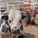 Rodeo stock contractors in trouble