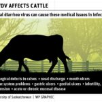 Proper testing instrumental in controlling BVD virus