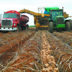 Potato yields drop in 2020