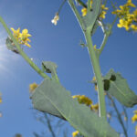 Prairie canola production dropped last year