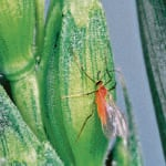 Insect forecast shows pest potential