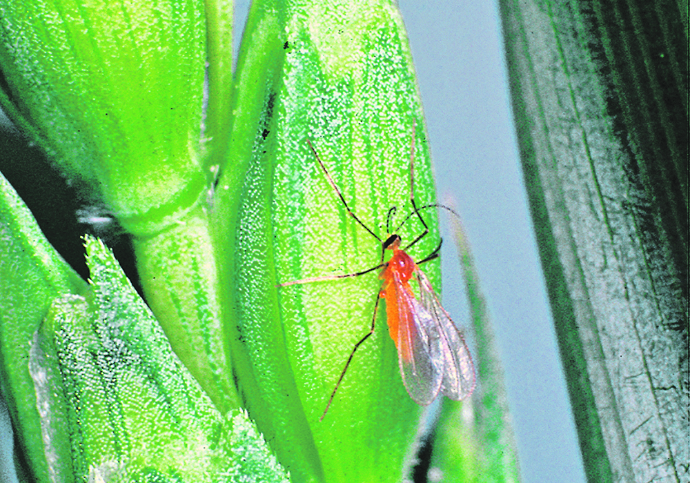 Once wheat midge has established, it is unlikely to disappear. It can survive in low-lying and moist field areas and survive for a time even in unfavourable conditions. | File photo