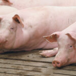 Producers pray Alta. hog plant re-opens quickly