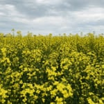 The Canola Council of Canada has developed online calculators that can be used to calculate seeding rates, target plant densities and harvest losses.  | File photo