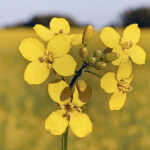 Canola pan-genome project to speed variety development