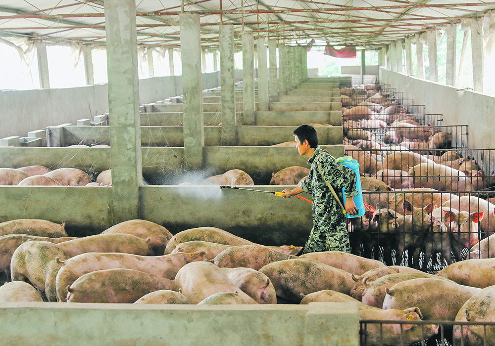 New variants of the African swine fever virus are causing a second wave of disease this winter in China.  | Reuters photo
