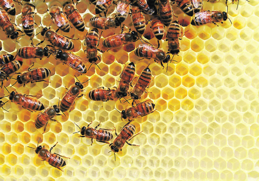 Eighty percent of the bees honey producers expected this year from New Zealand won't arrive due to Air Canada changes. | File photo