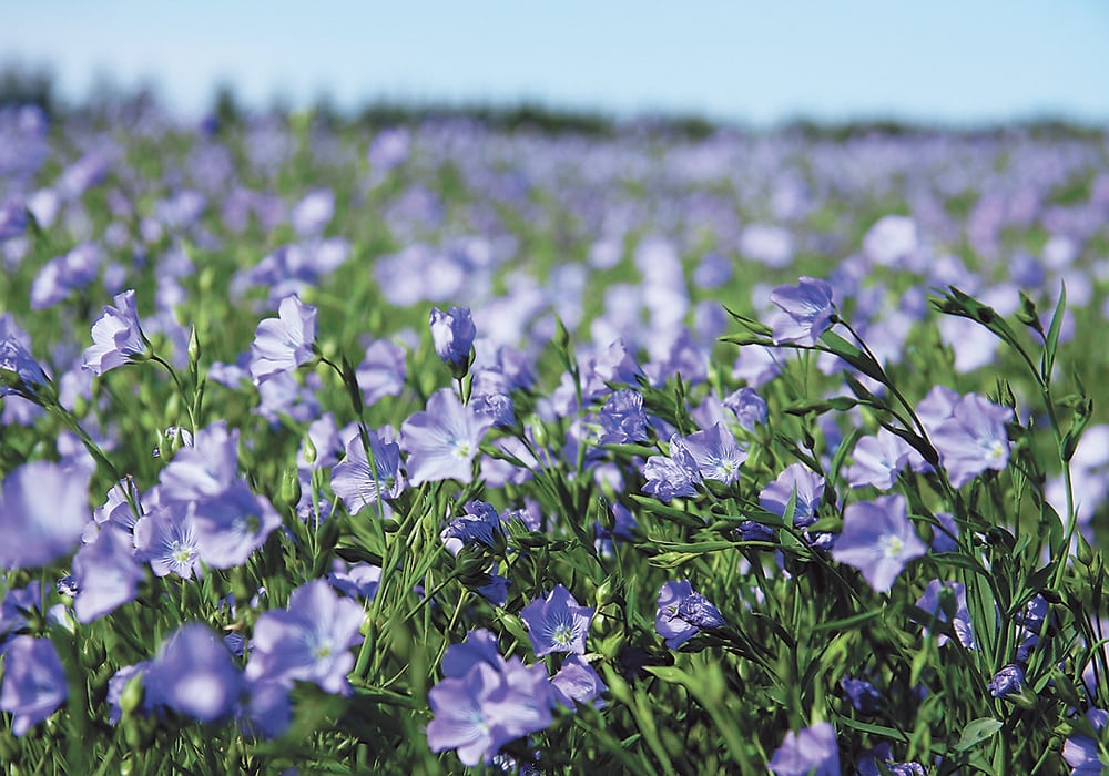 The U.S. Department of Agriculture is forecasting 400,000 acres of flax will be planted in that country this spring, a 31 percent increase over last year. | File photo