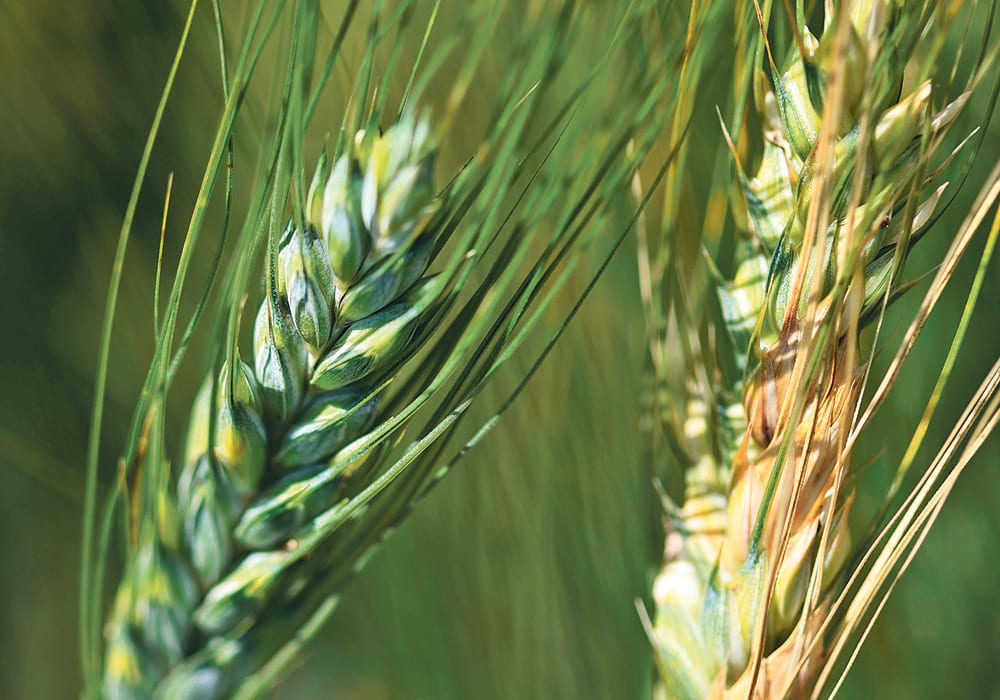 Last month, the Alberta Seed Processors released an interim report that quantifies the incidence of fusarium on seed samples submitted to Alberta seed testing labs. | File photo