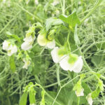 Indian chickpea woes unlikely to benefit peas