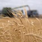 Major durum buyer harvesting larger crop