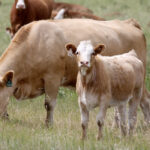Scientist worries about beef research