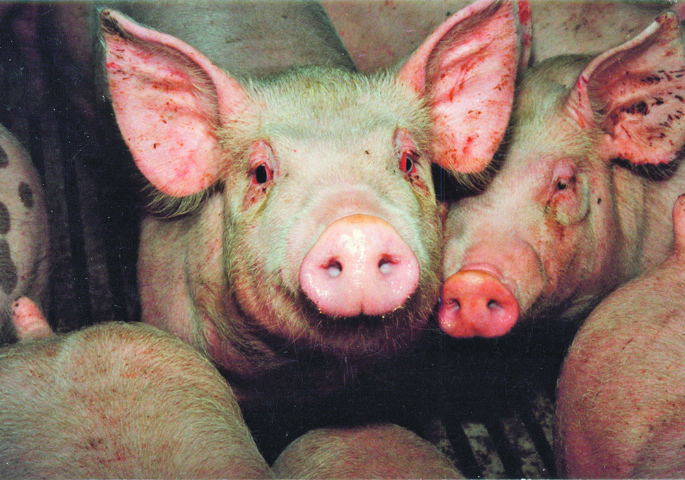 Provincial health and veterinary officials say there appears to be no risk to other humans, pigs don't appear to have the disease and pork carries no risk of infection for humans. | File photo