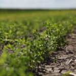 Indian pigeon pea shortfall could boost Canadian exports