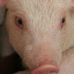African swine fever reaches the Americas