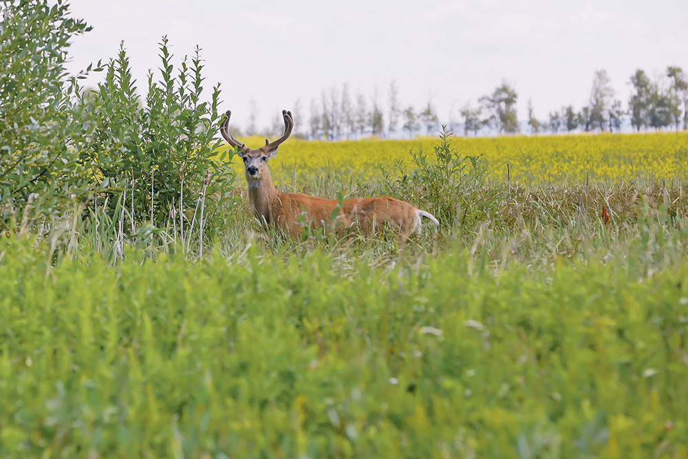 Wildlife do have strategies to adapt to disease, such as breeding earlier in their life cycles, but the impact from chronic wasting disease is still profound.  |  Randy Vanderveen photo